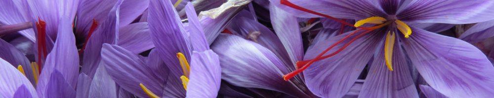 Fleur de crocus sativus pour safran